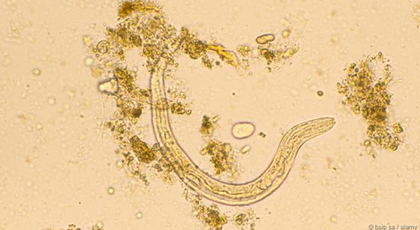 An Old World hookworm