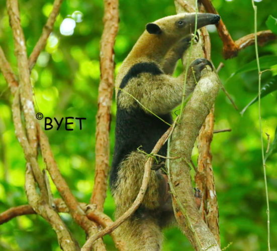 anteater_manzanillo-fb