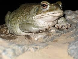 Desert Toad