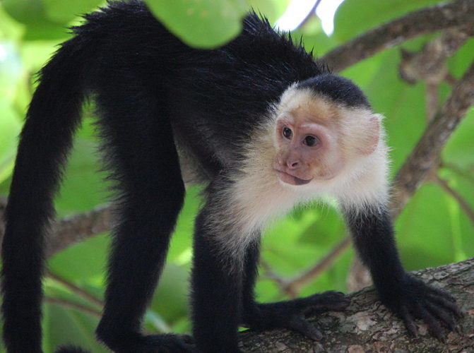 The Mischievous Capuchin Monkey – Critter Science