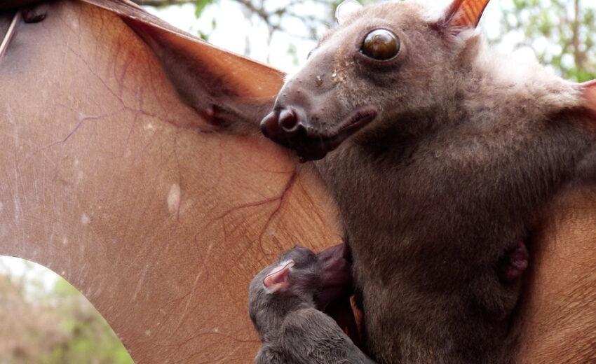African hammer-headed fruit bat