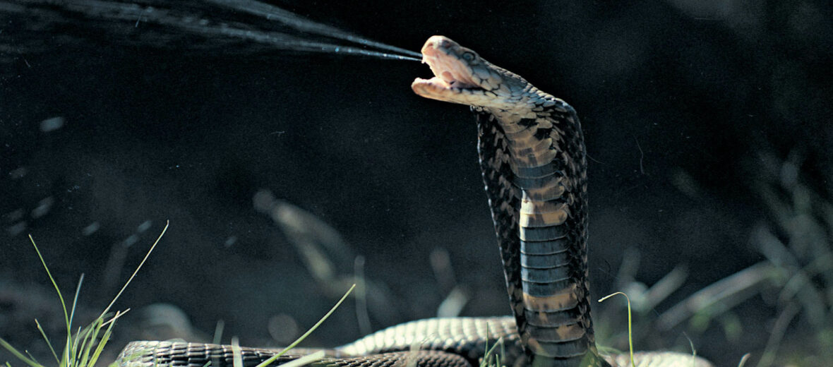 Indochinese spitting cobra