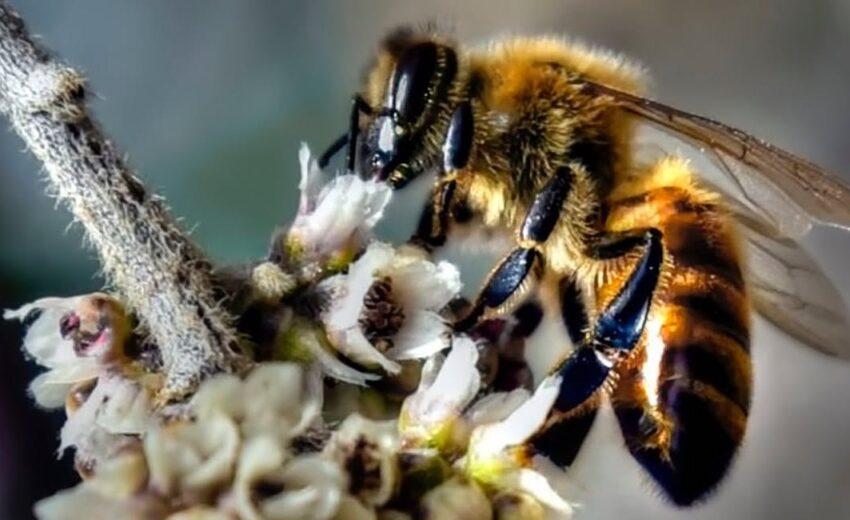 Himalayan honey bee