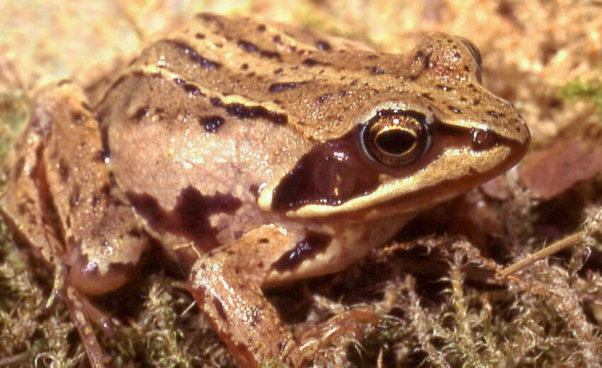 moor frog