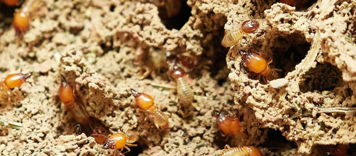mound building termites
