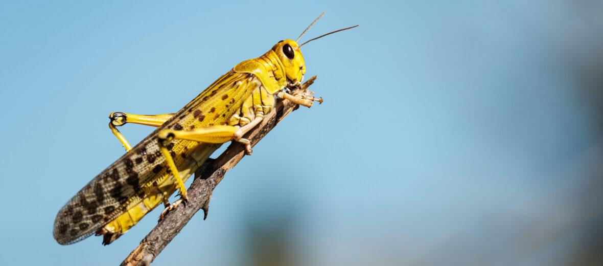 The African Desert Locust - Critter Science