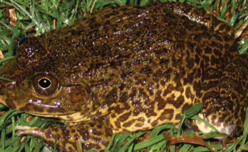 Chinese edible frog