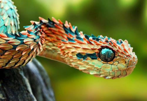 spiny bush viper