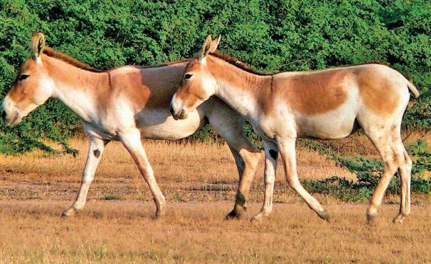 Indian wild donkey